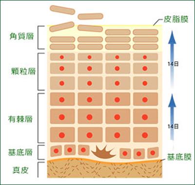 皮膚の構造図
